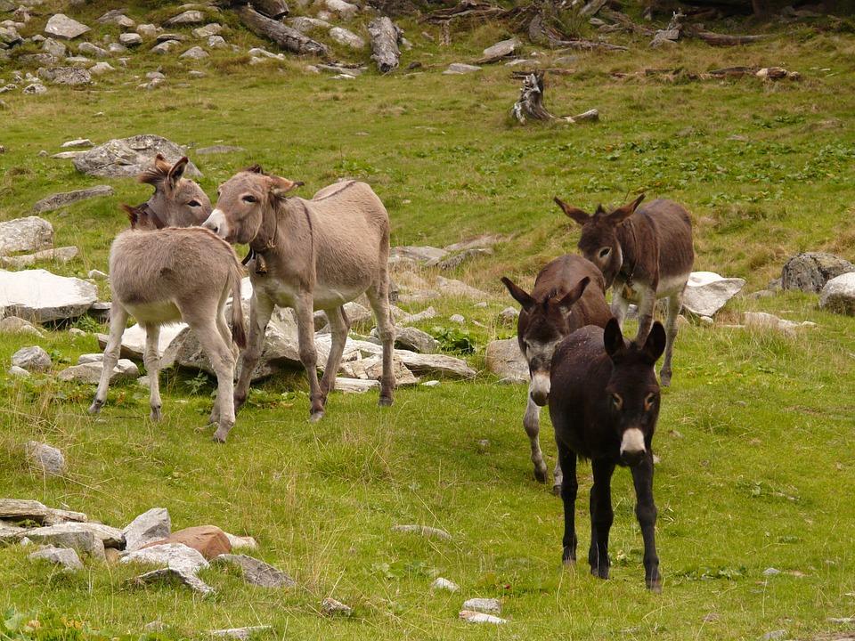 donkey-3095_960_720